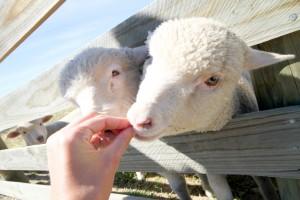 Handfeeding lambs