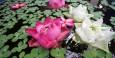 Lotus flowers at Jim Thompson's house
