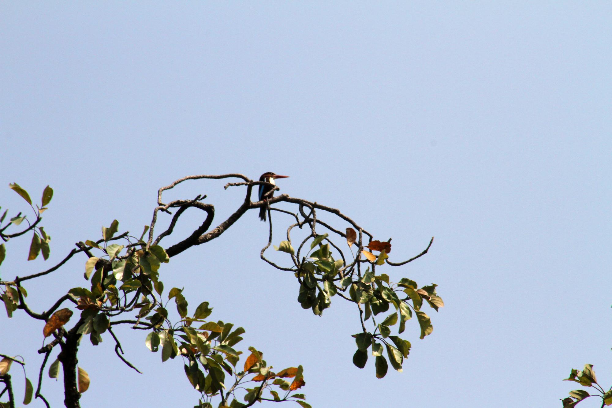 Gray Indian Kingfisher