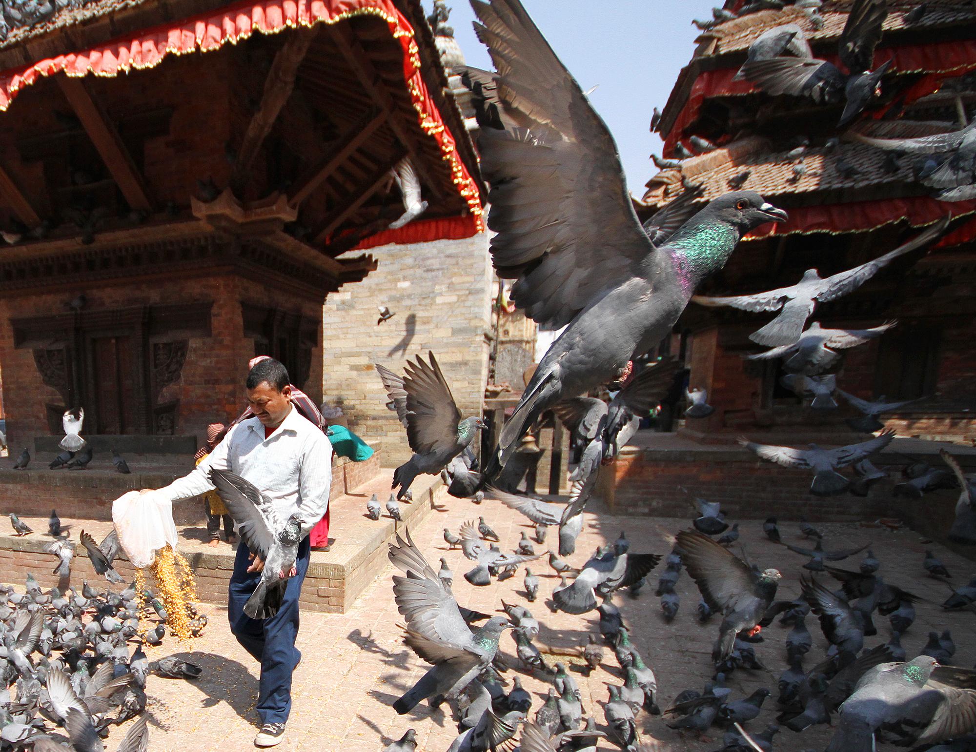 Durbar Square pigeons