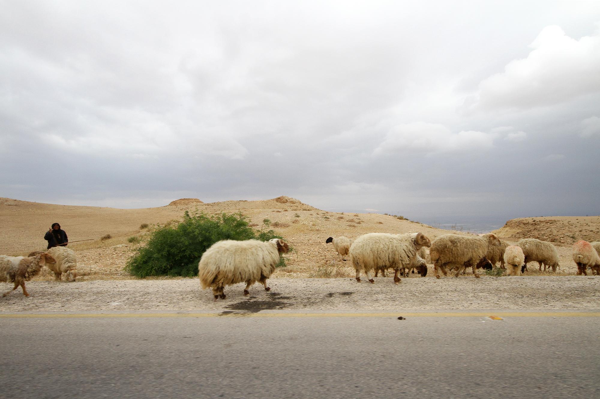 Jordan sheep