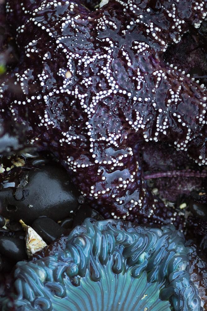sea star sea anemone